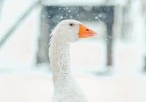 A closeup shot of the head of a cute goose with the blurry snowflake in the background